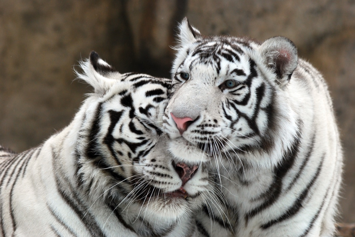 white tigers in love animals in love