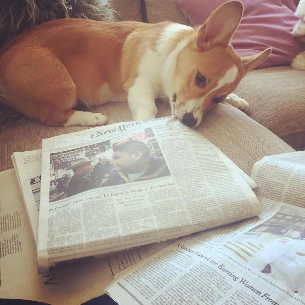 sherlock the corgi versus the newspaper