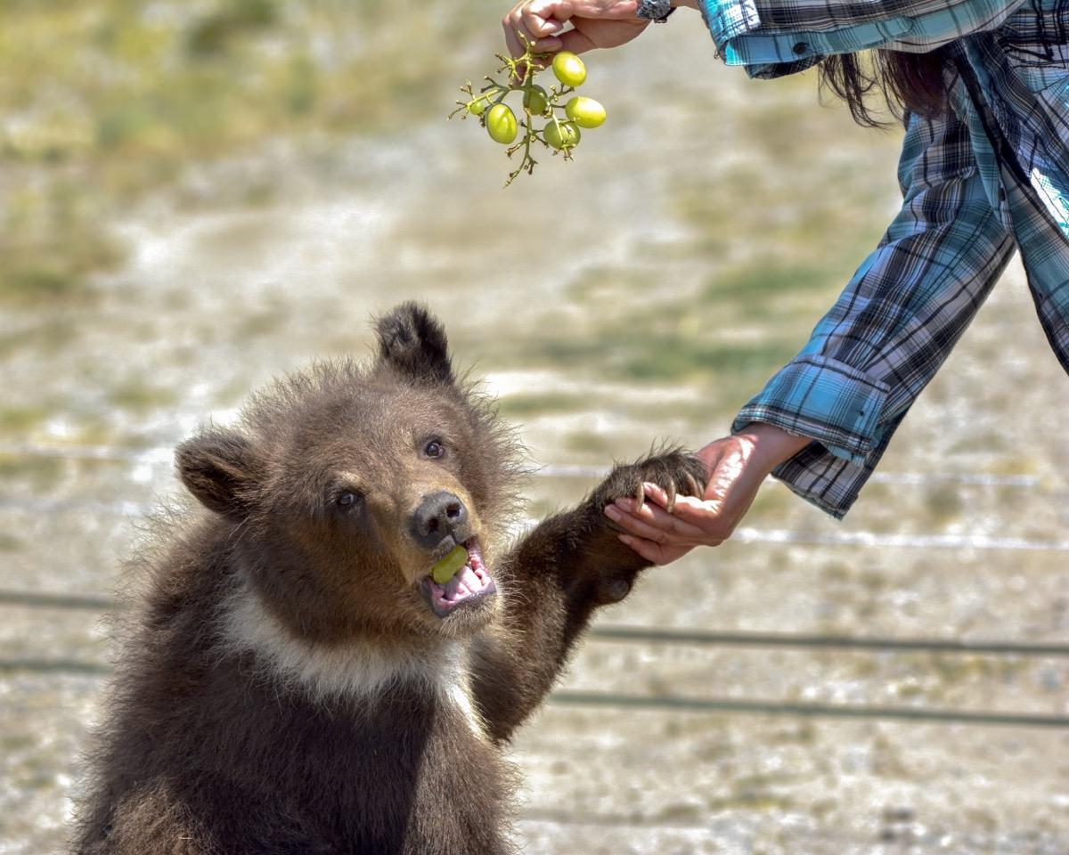 baby bear eating grapes adorable photos of bears