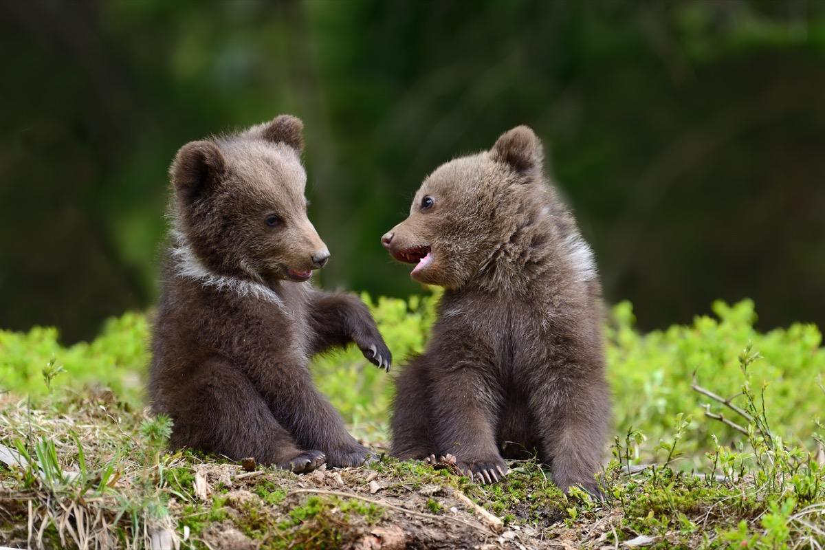 bear cubs playing together adorable photos of bears