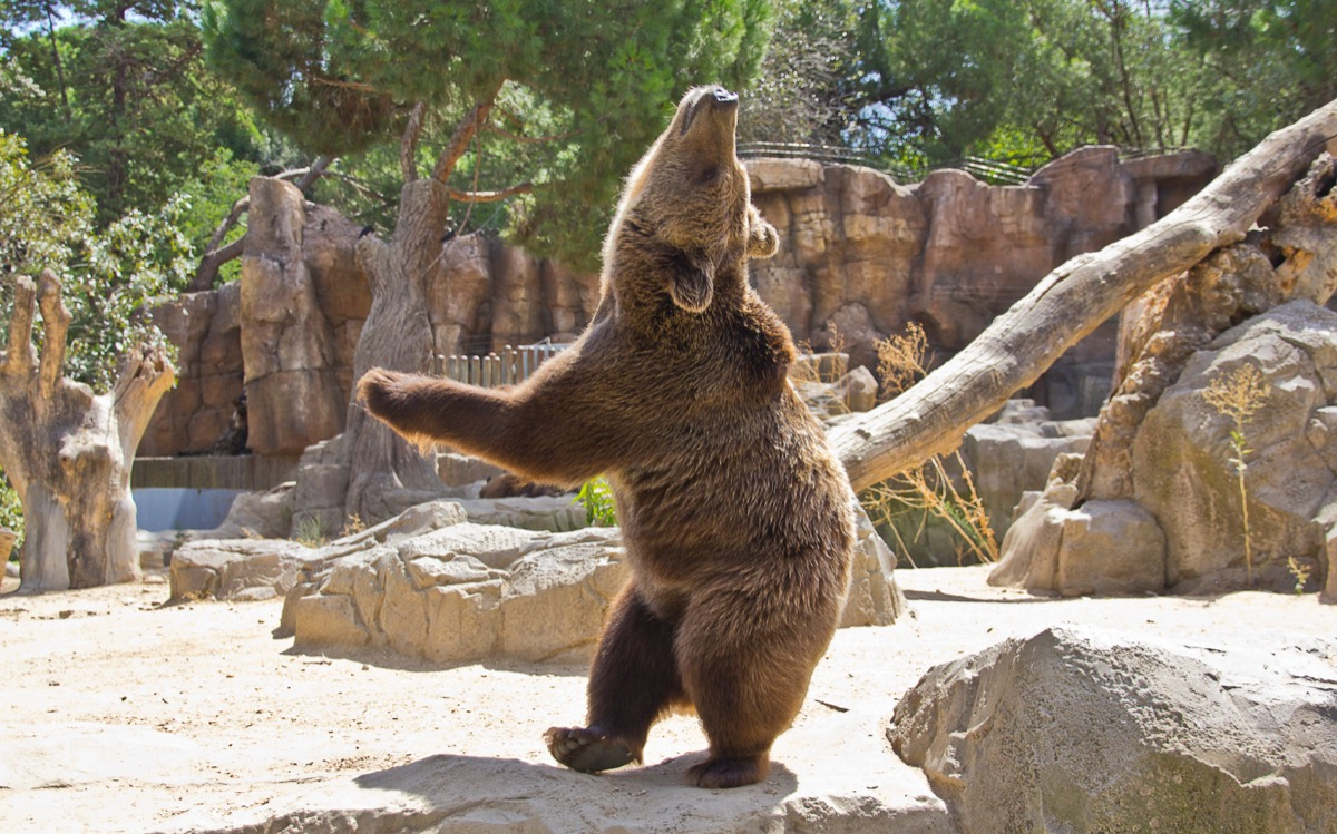 bear dancing in zoo adorable photos of bears