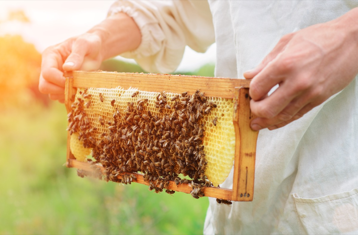 Beekeeper Making Honey With Bees