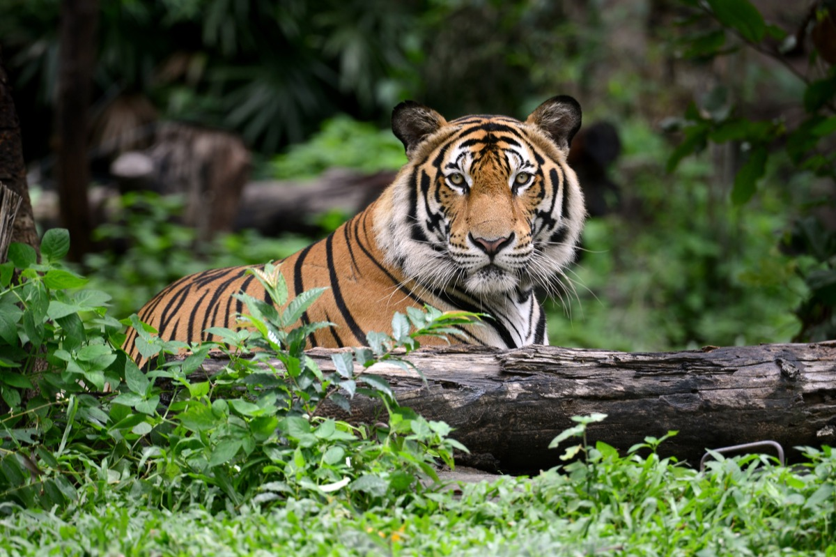 indian bengal tiger in the wild, animal facts