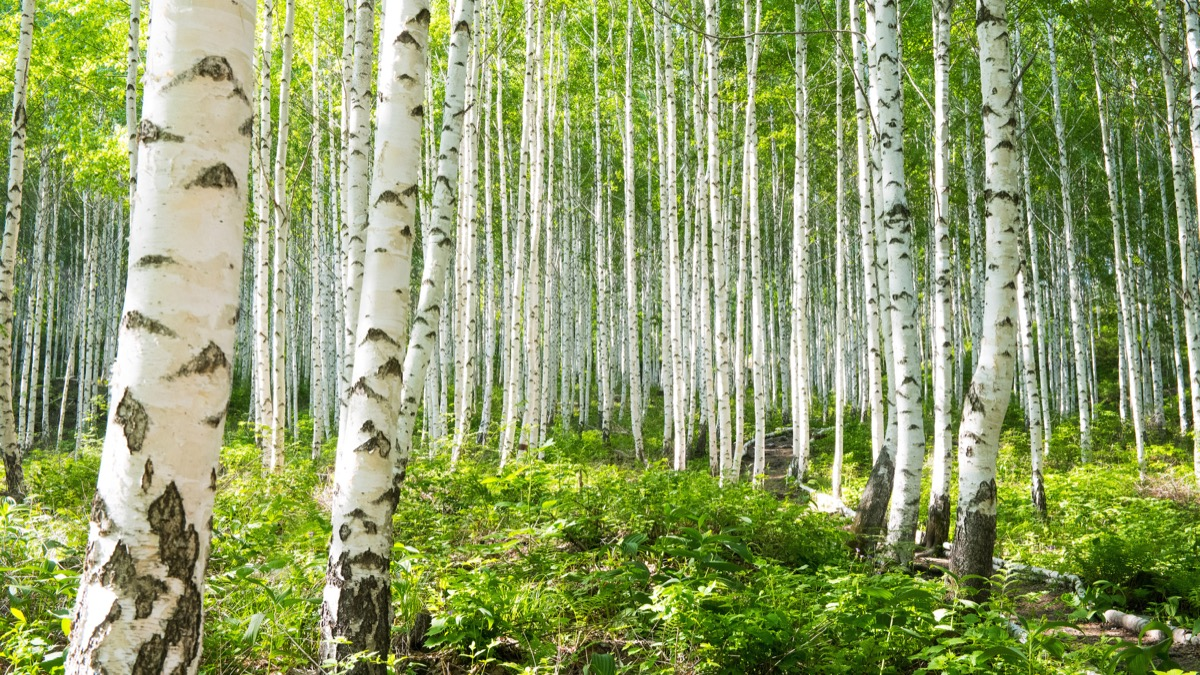 birch tree forest, most common street names