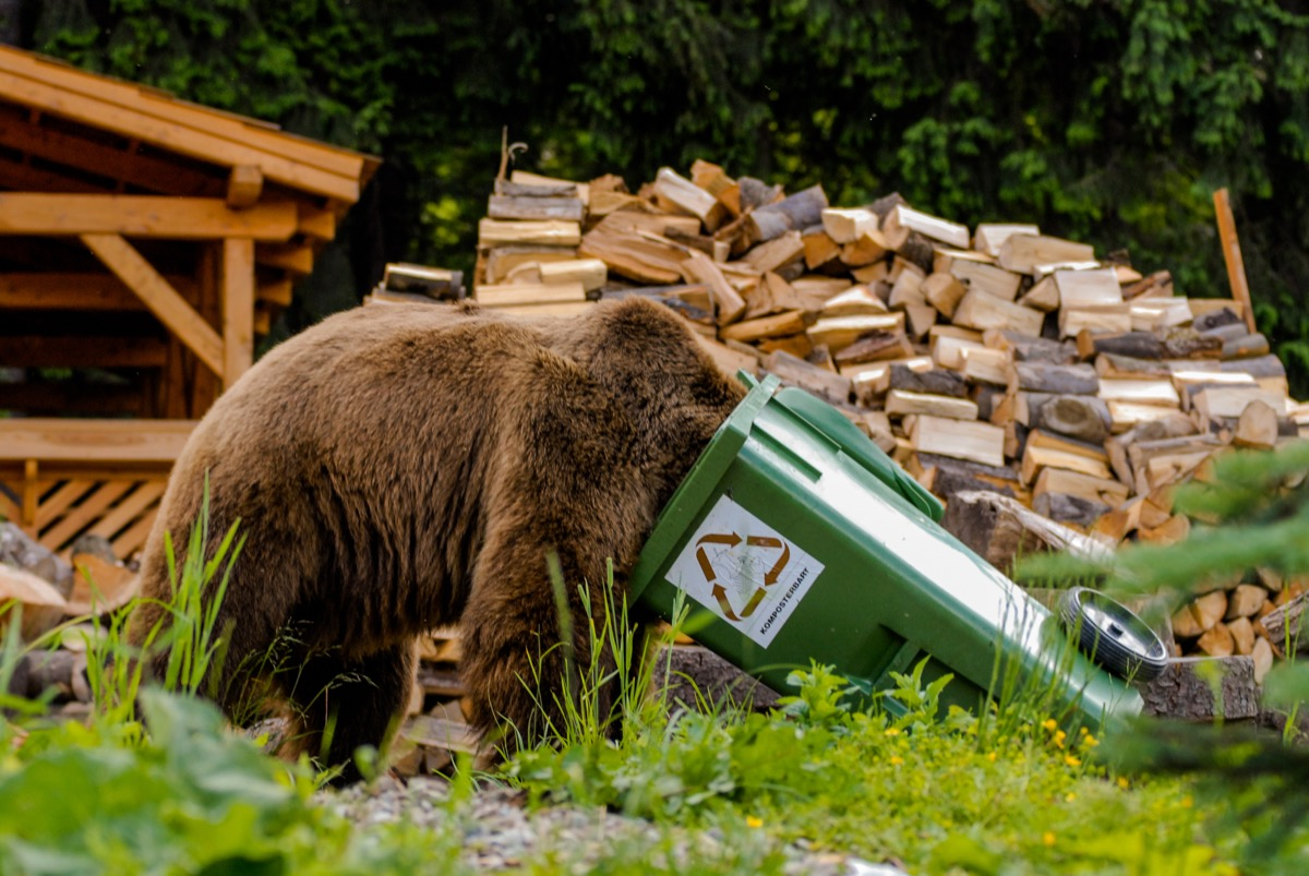 brown bear looking through trash bin adorable photos of bears