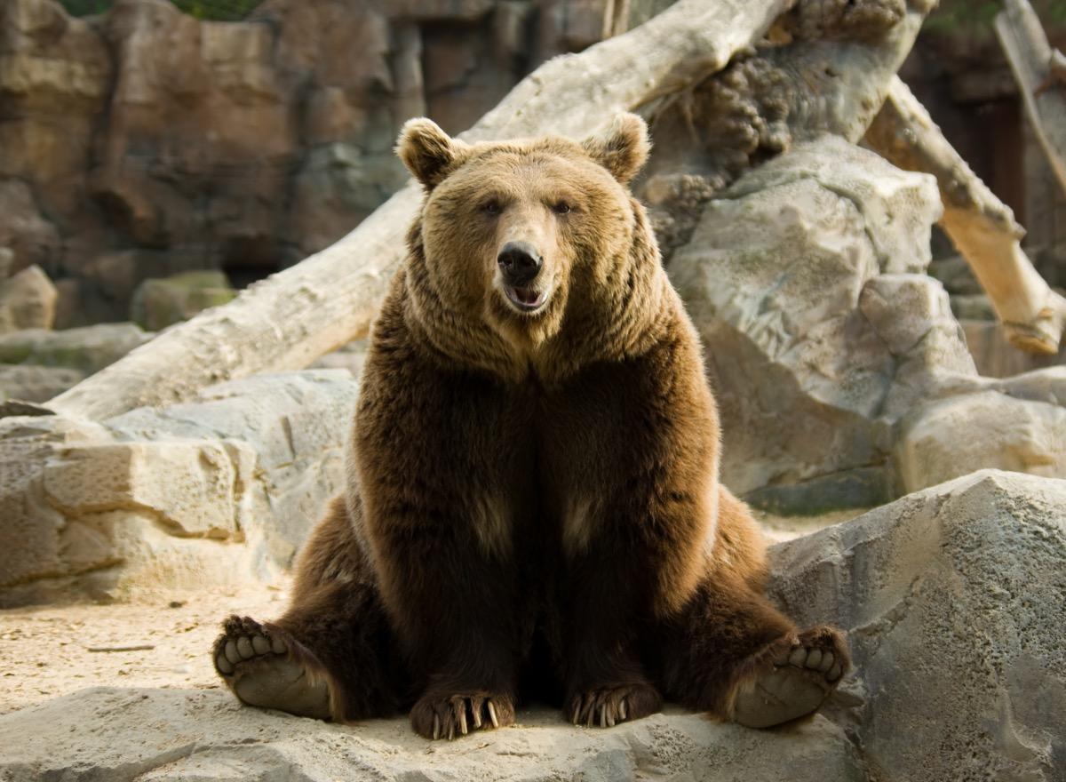 brown bear sitting like a good boy adorable photos of bears