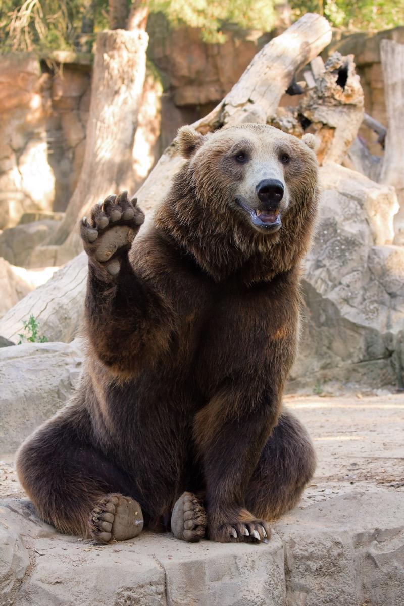 brown bear waving at the zoo adorable photos of bears