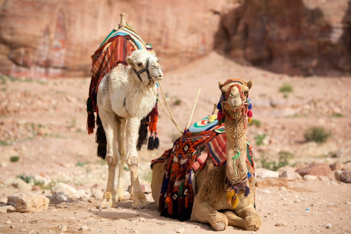 two camels sitting in petra jordan, animal facts
