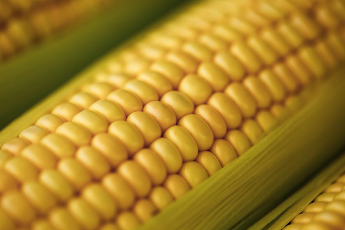Fresh corn on cob in high resolution