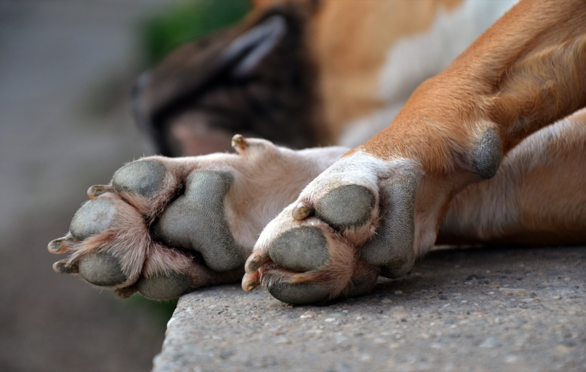 dog paws interesting facts