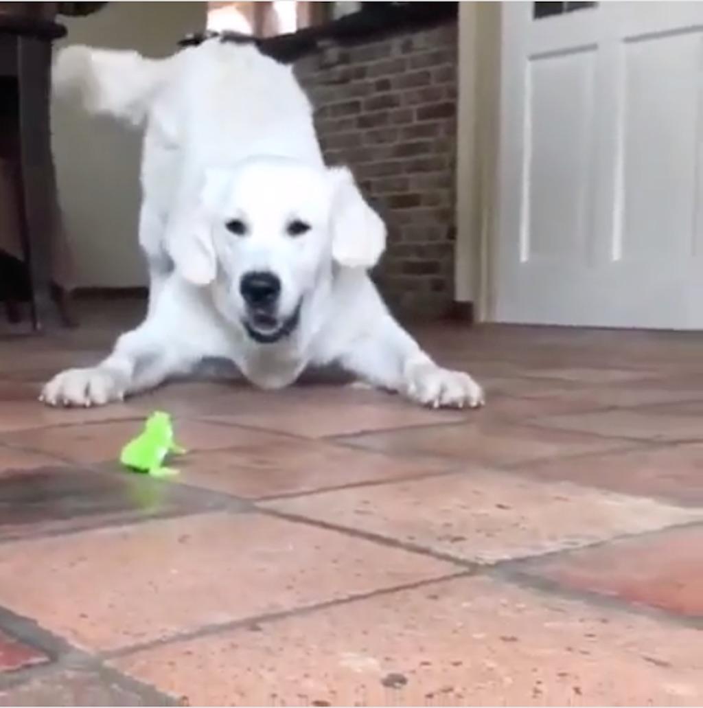 golden retriever versus wind up toy