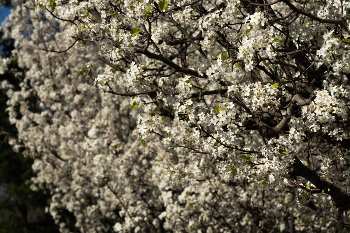 dogwood trees in alabama, most common street names