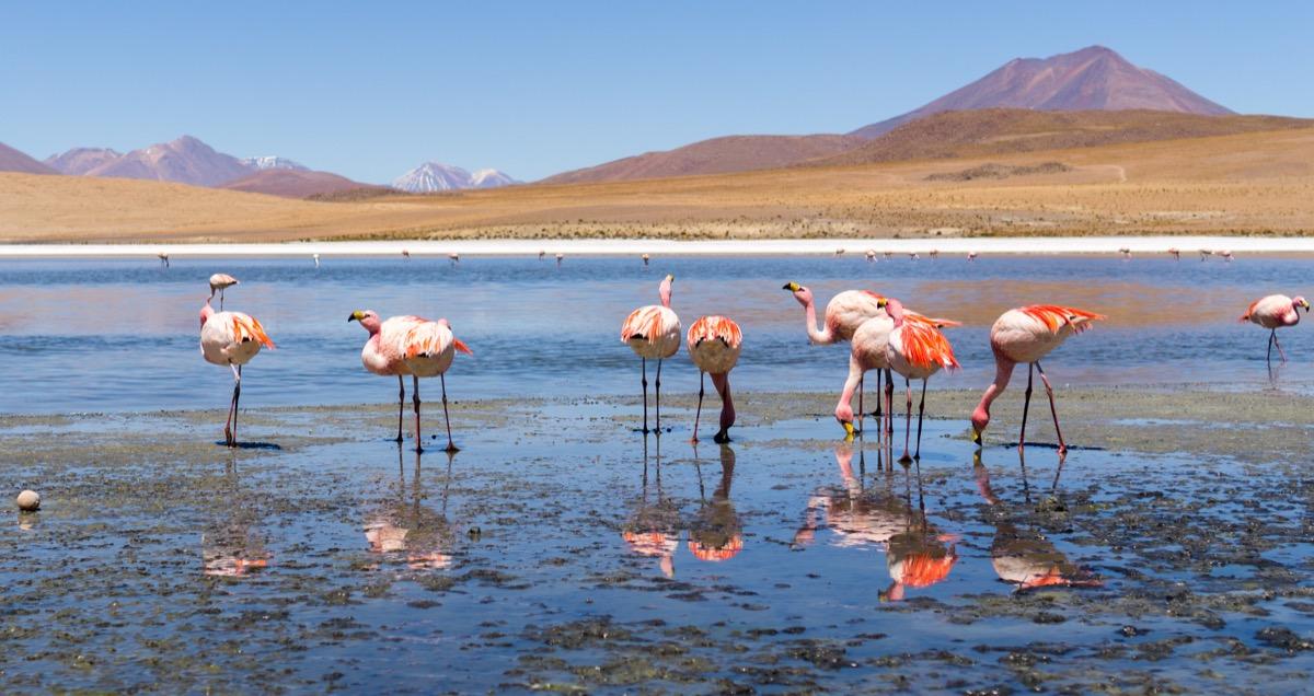 flamingos near the salt flats in bolivia, animals facts