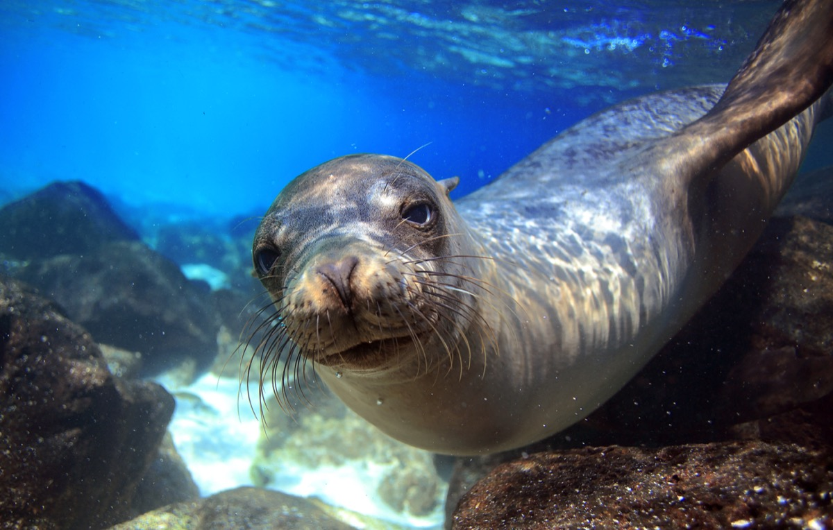 galapagos sea lion in the water, animals facts