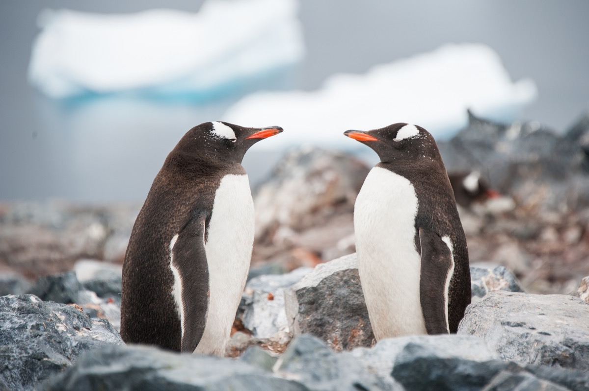gentoo penguins in antartica looking at each other, animal facts