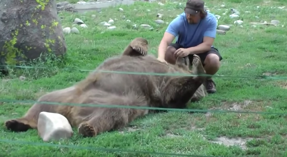 grizzly bear getting belly rub adorable photos of bears