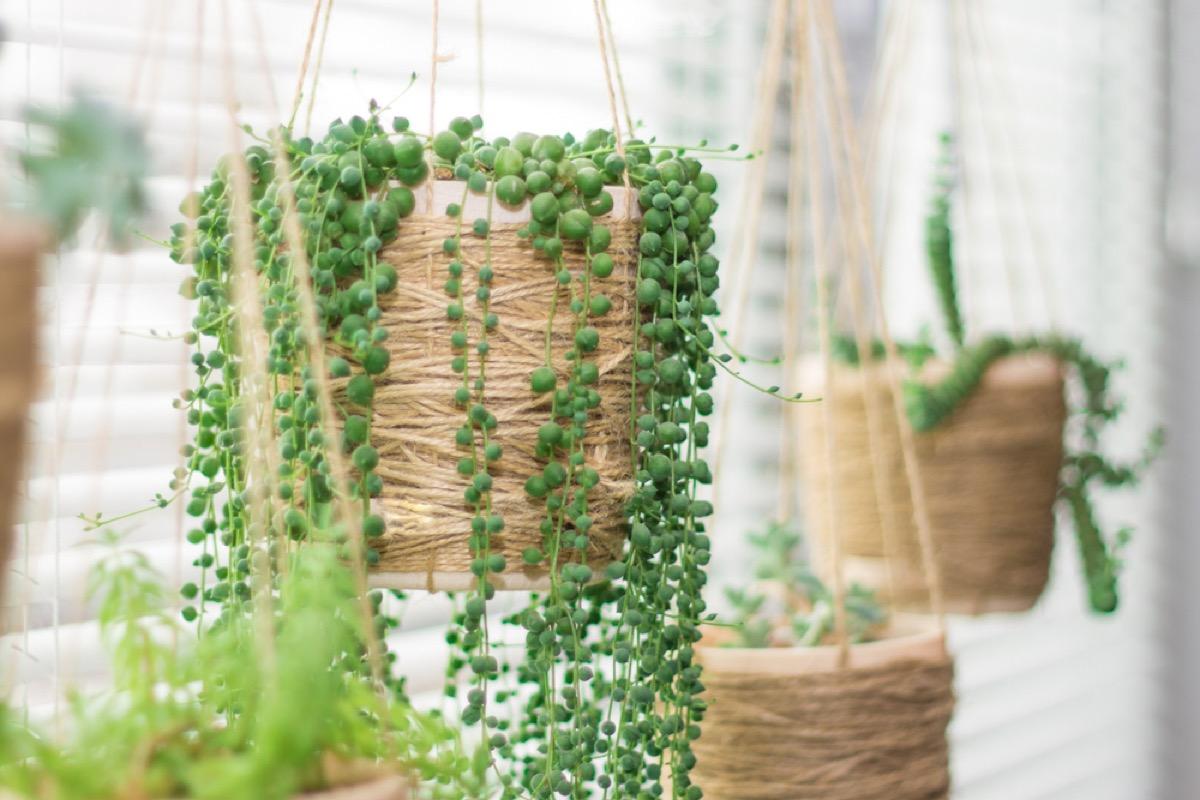 hanging plants interior design tips