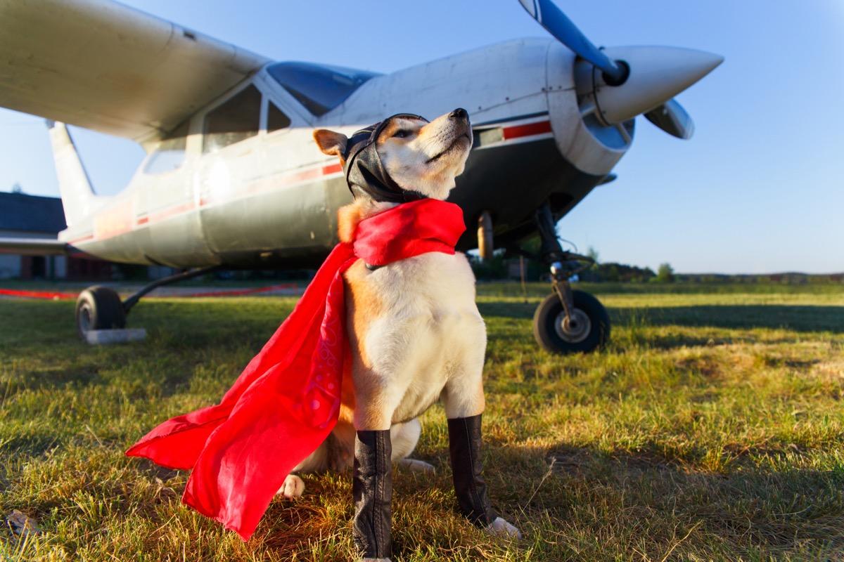 hero dog in cape