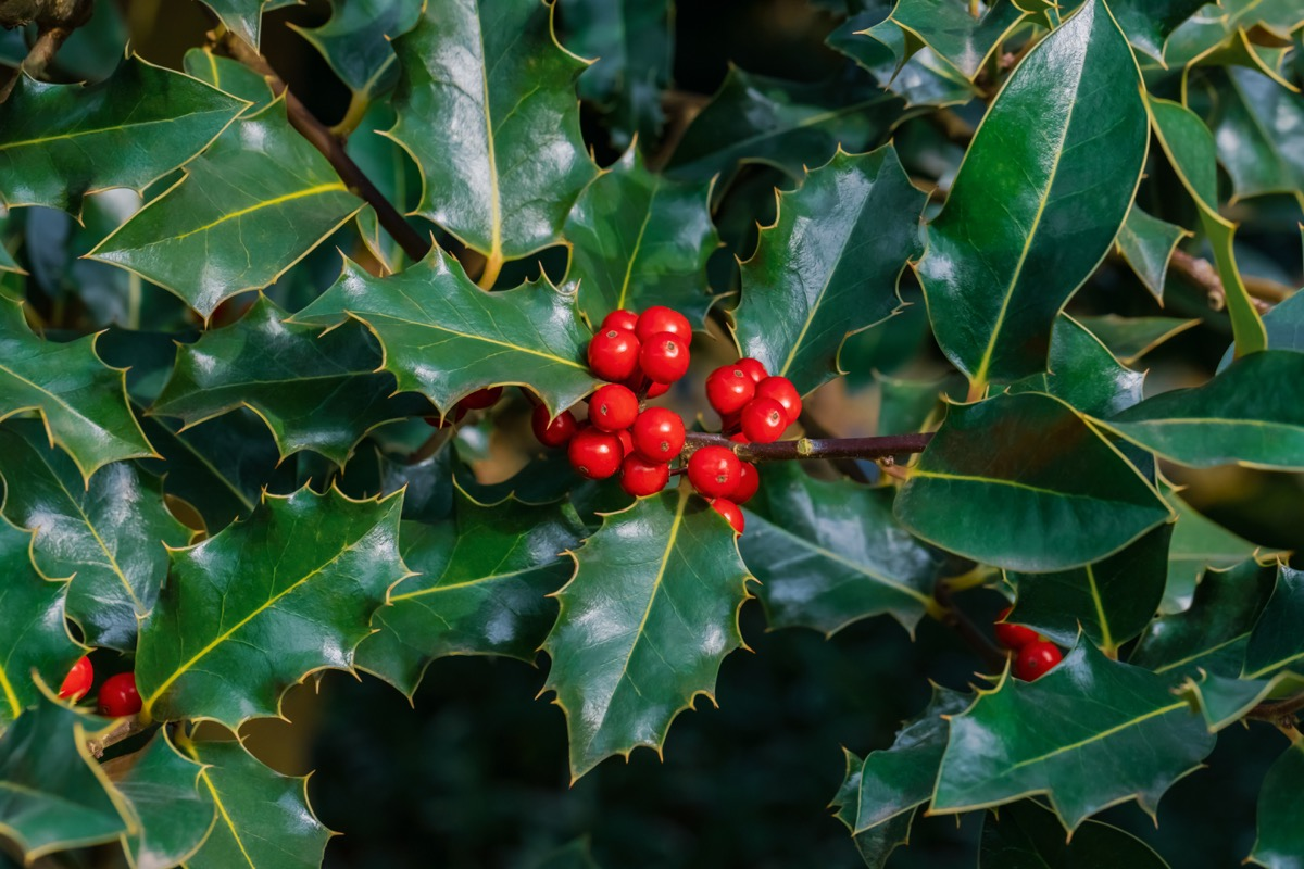 holly tree, the official state tree of delaware, most common street names