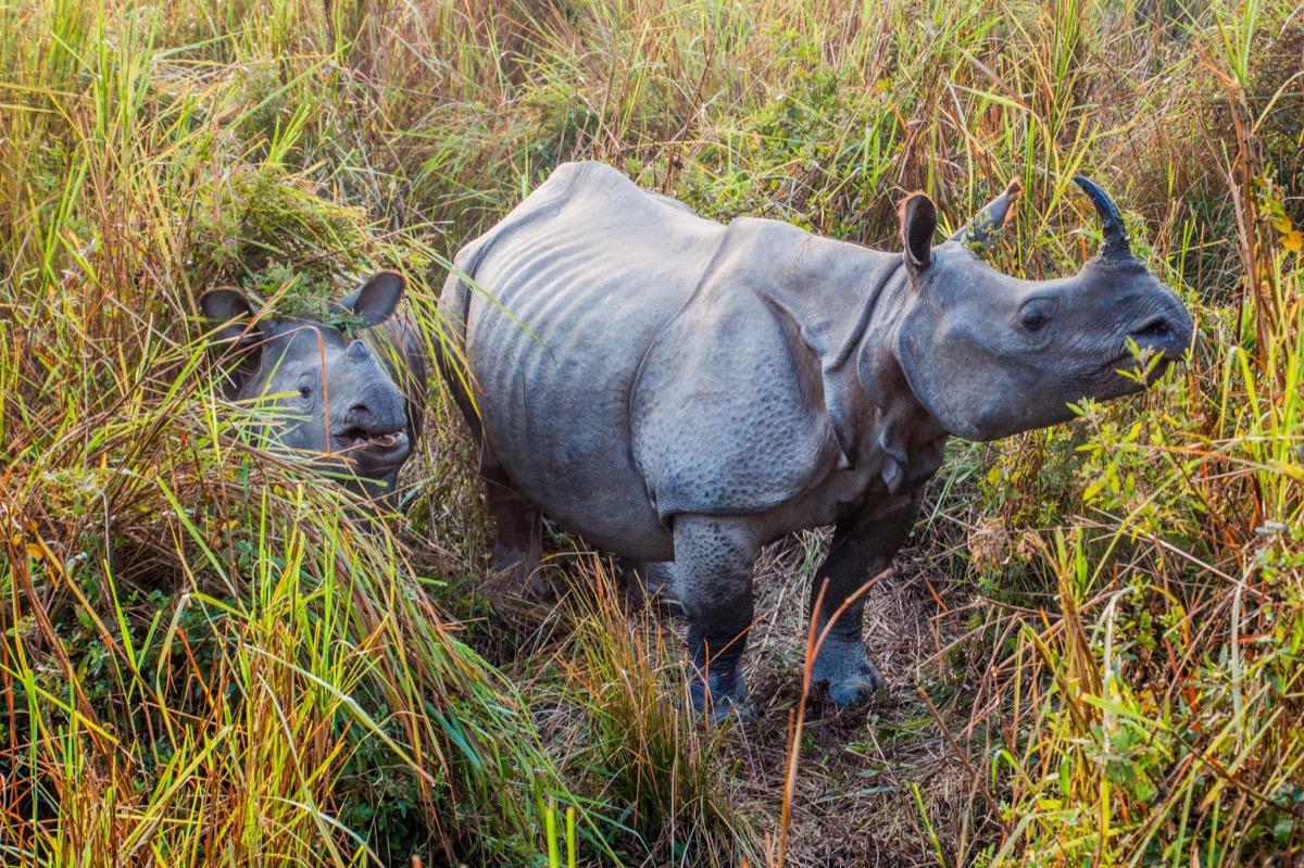 indian rhinoceros in Kaziranga national park, animals facts