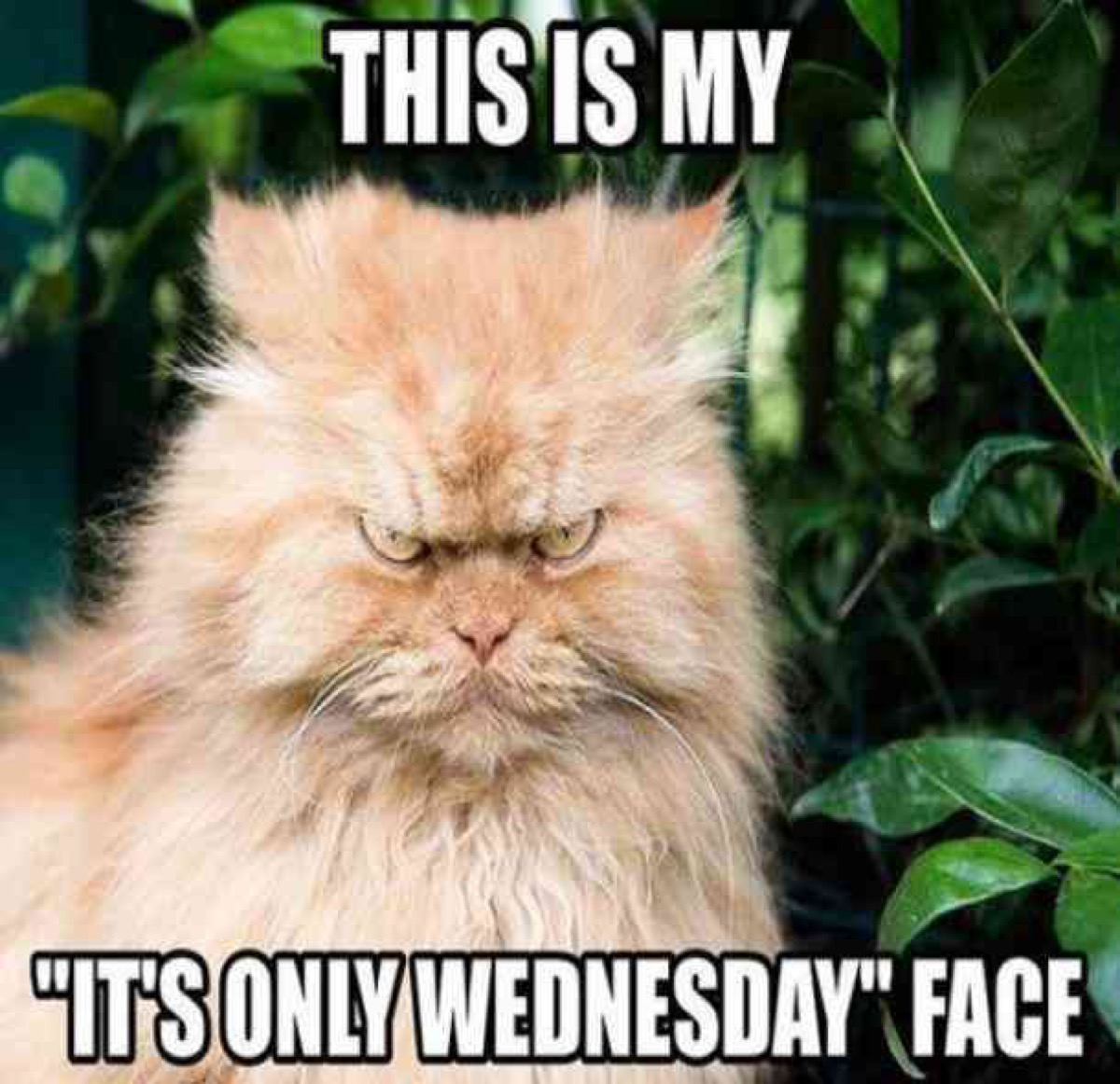 it's only wednesday face, hump day memes
