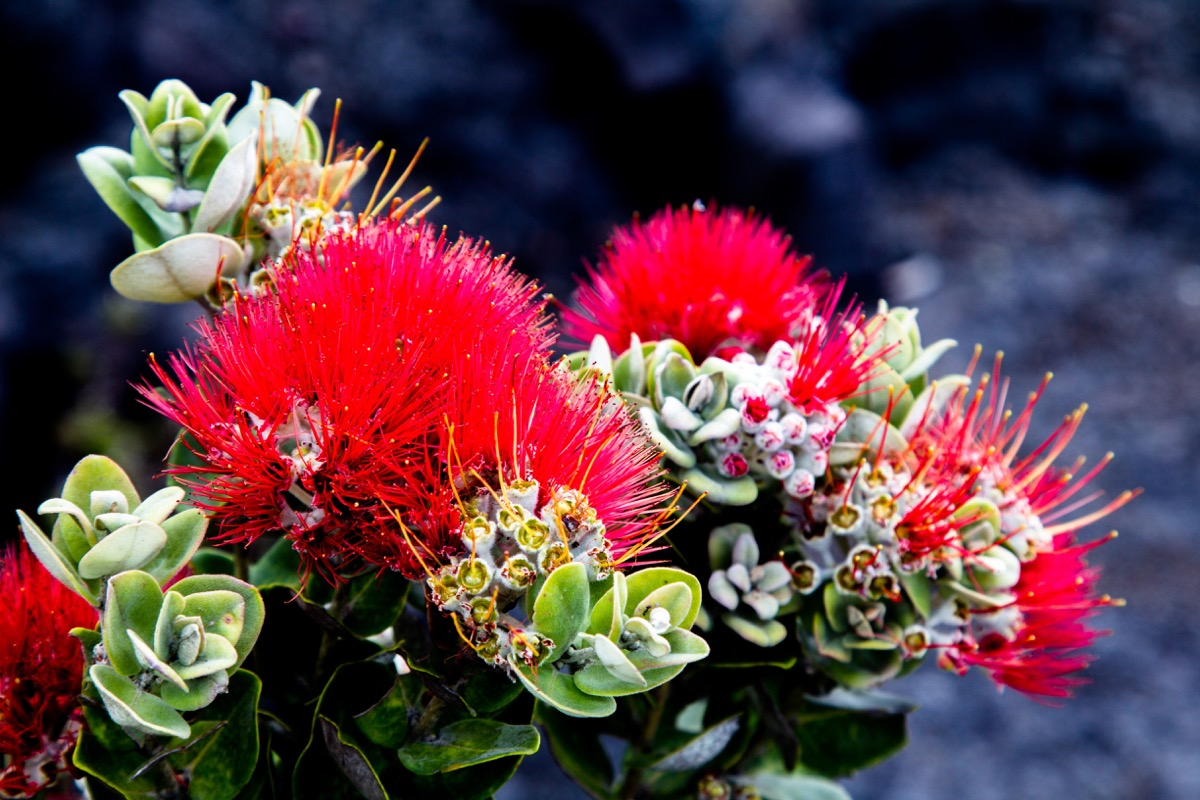 lehua red flower, big island flower for hawaii, most common street names