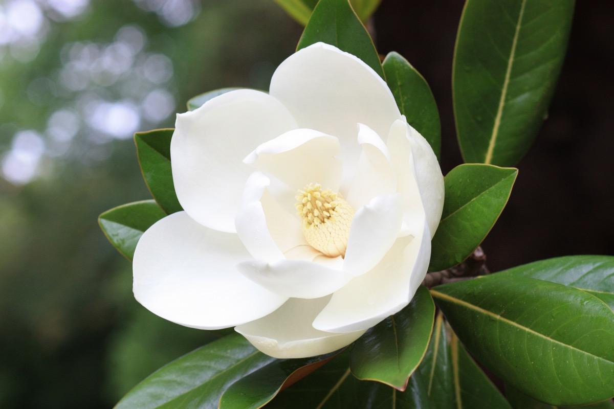 magnolia flower, most common street names