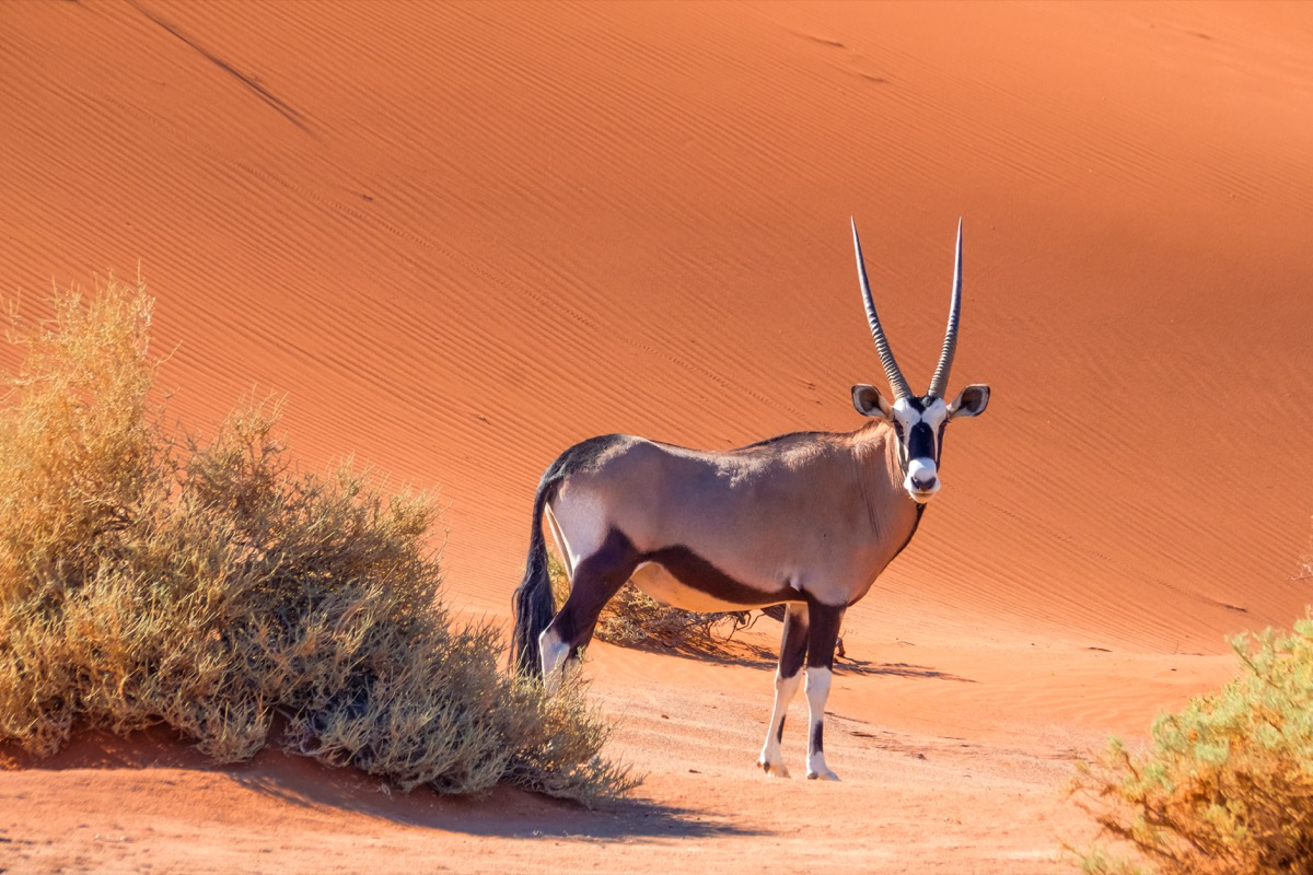 gemsbok oryx standing in namibia desert, animal facts