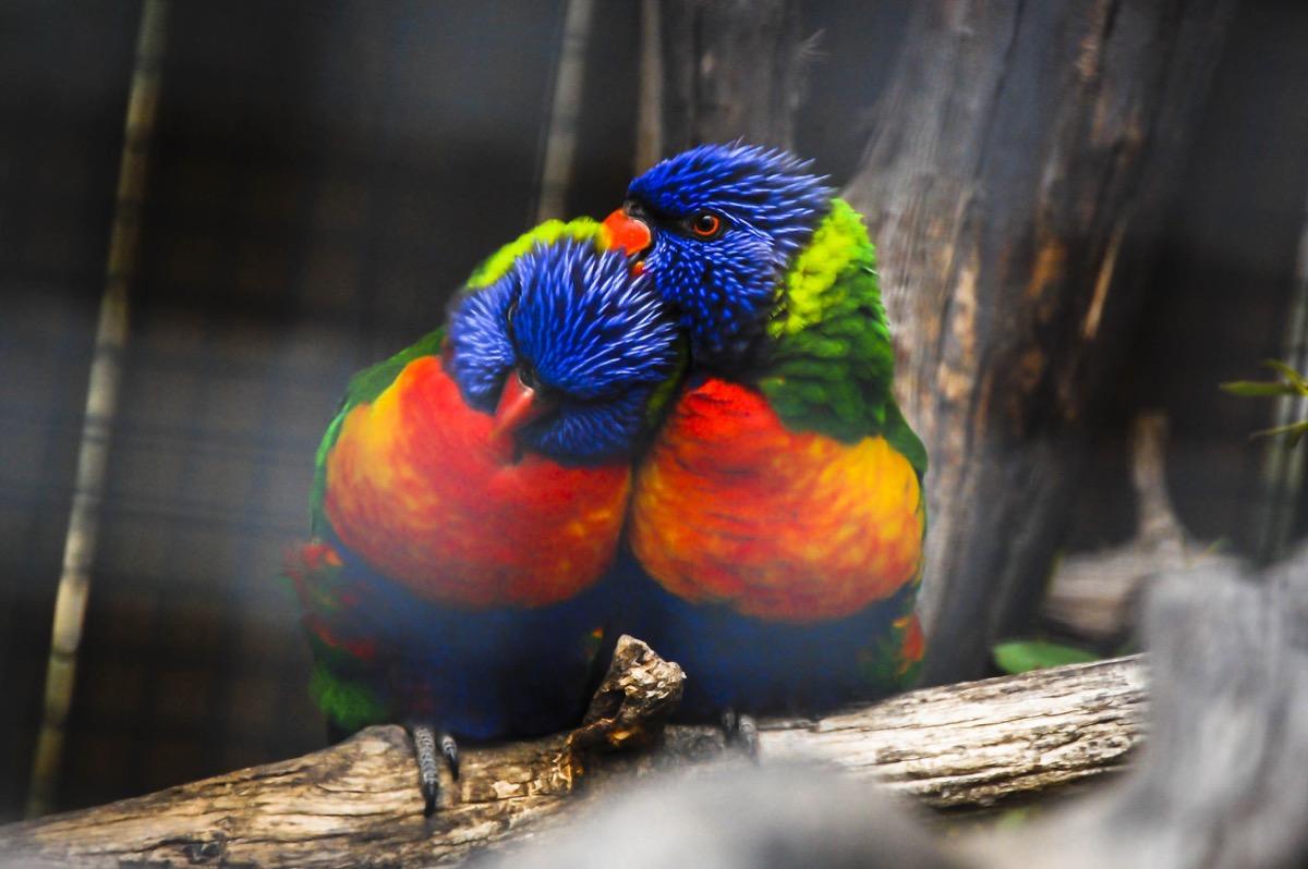 lorikeets in love animals in love