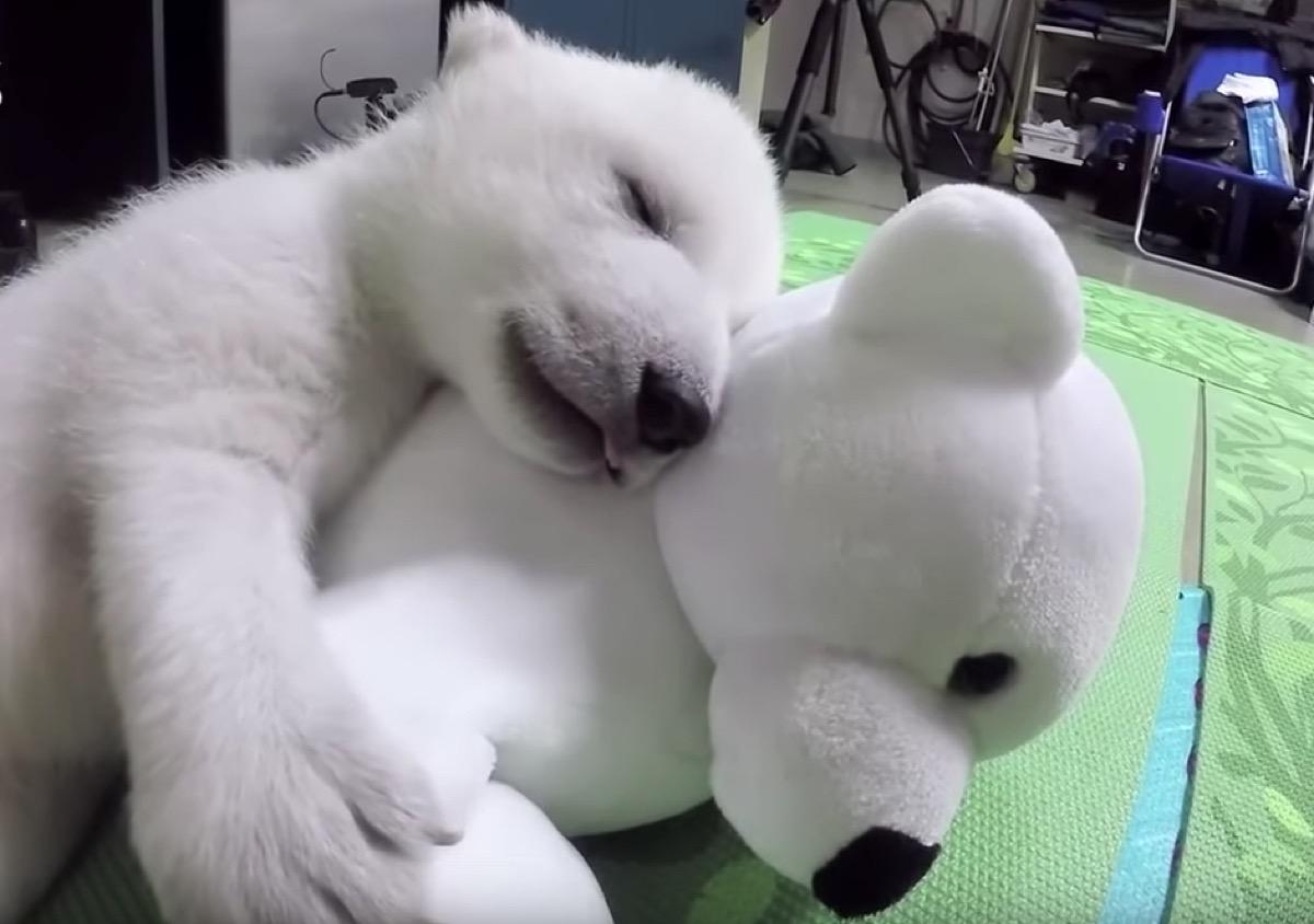 polar bear cub sleeping with stuffed animal adorable photos of bears