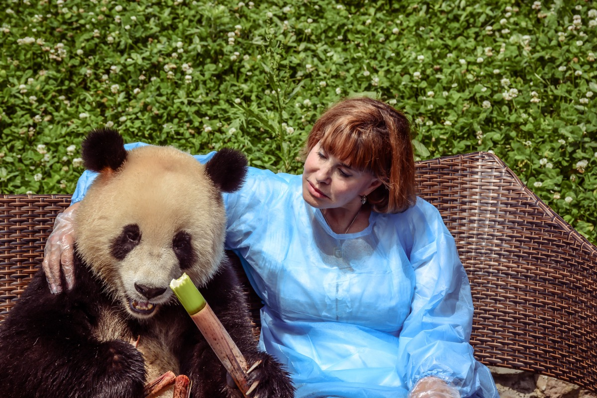 panda bear eating bamboo adorable photos of bears