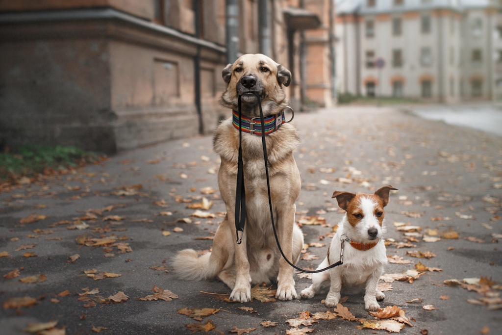 senior dog teaches young dog how to be on a leash.