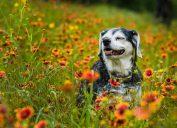 senior dog smiling in field of wildflowers.