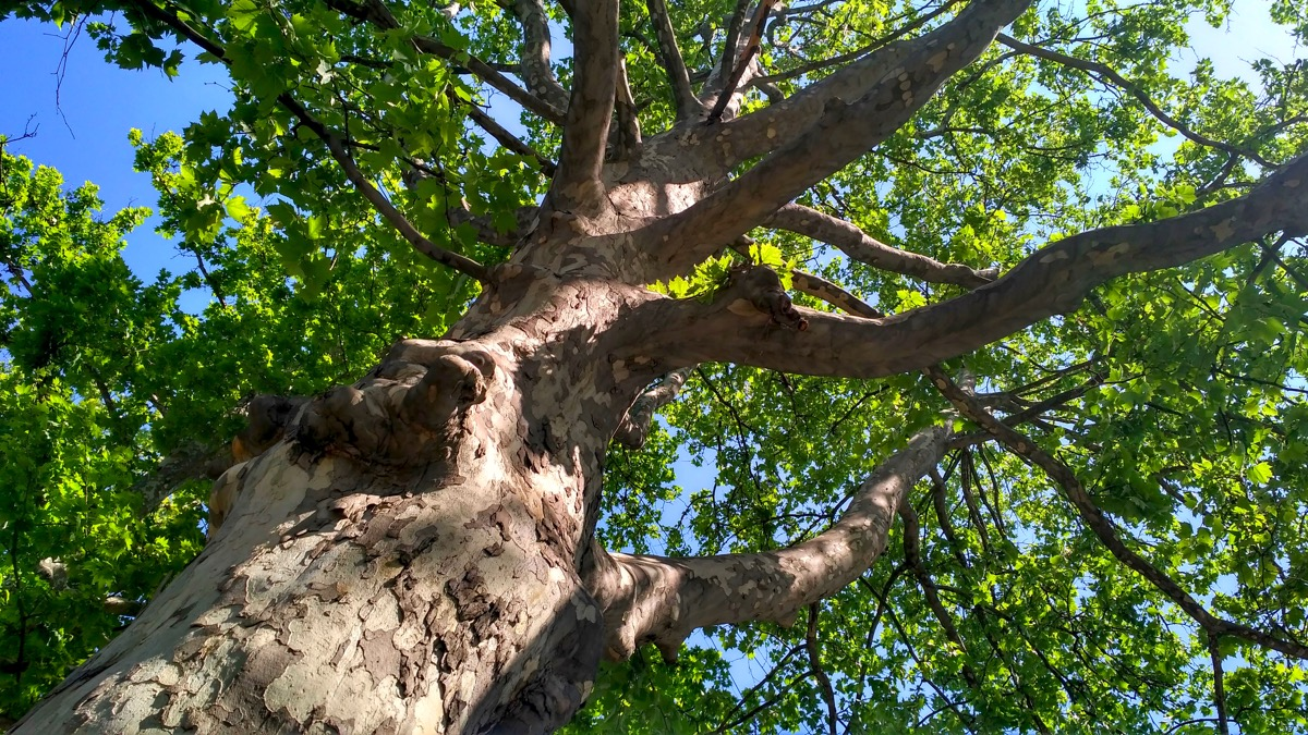 sycamore tree in the air, most common street names