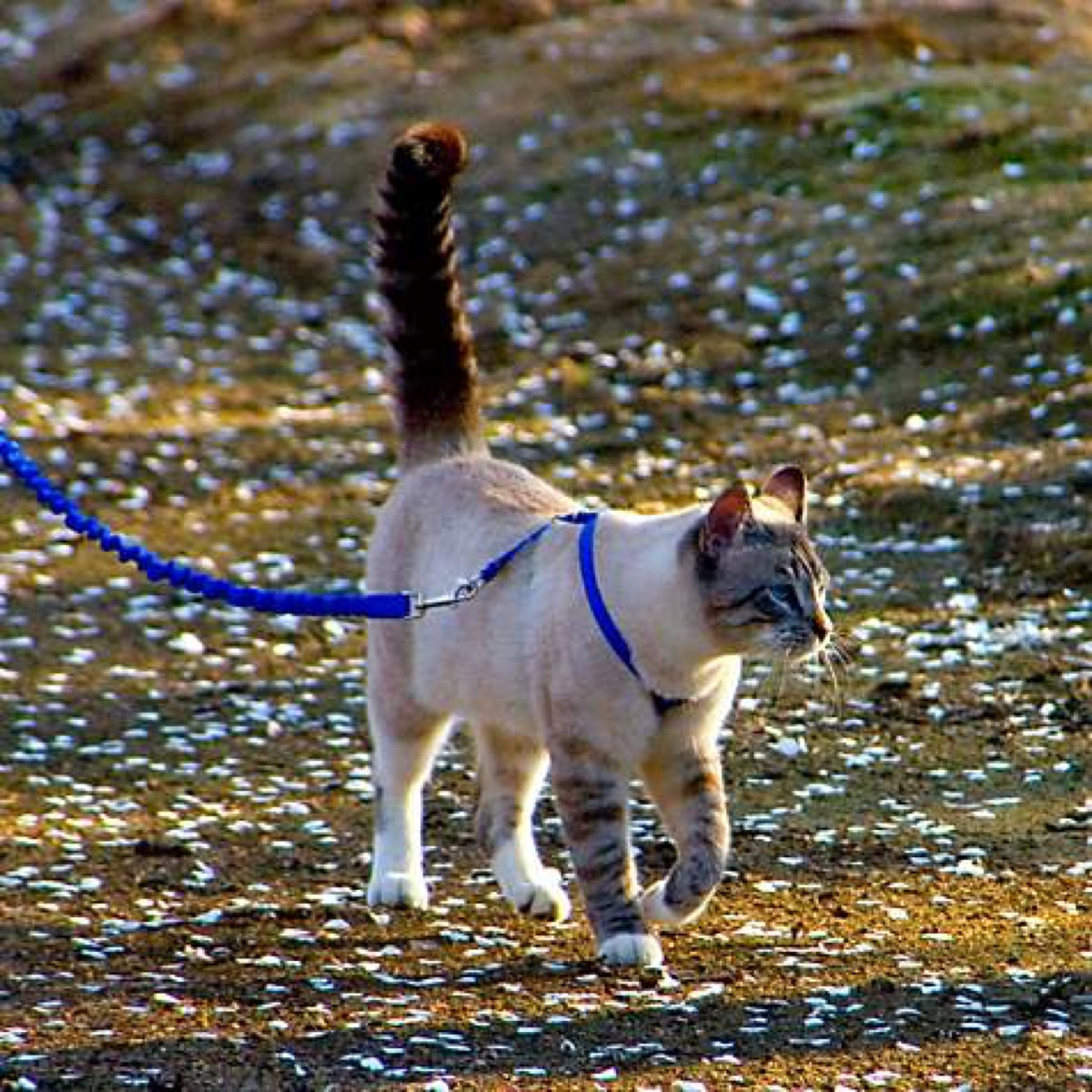 gentle leader cat leash and harness by petsafe