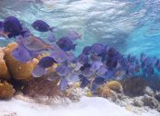 Blue tang swimming in coral reef