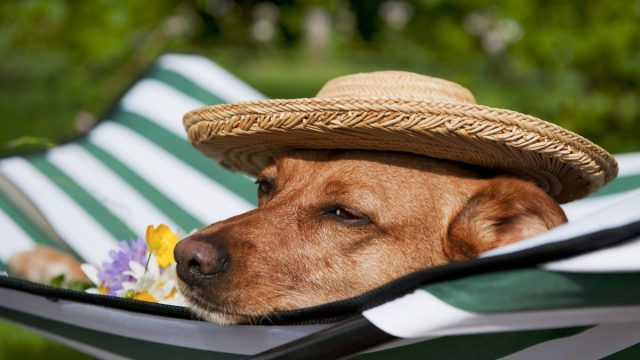 Dog Wearing a Hat and Lounging in a Hammock Summer Pet Accessories
