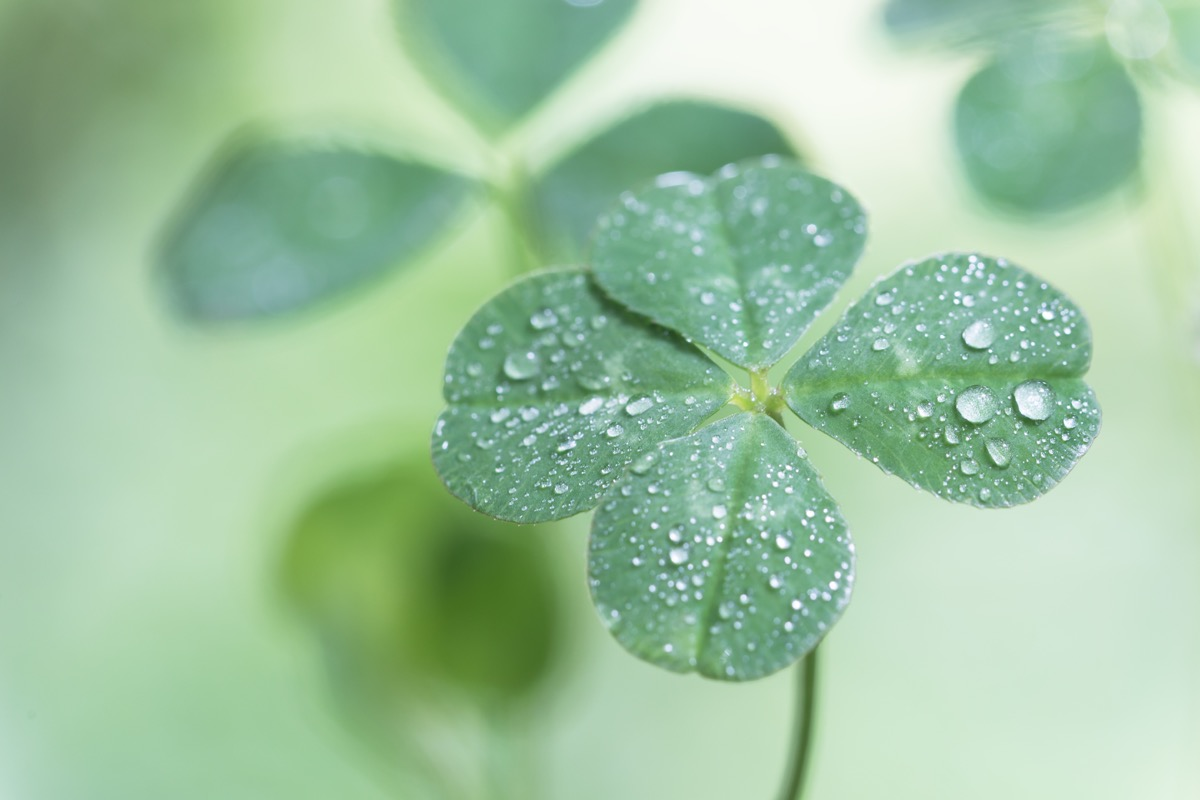 four leaf clover in the dew