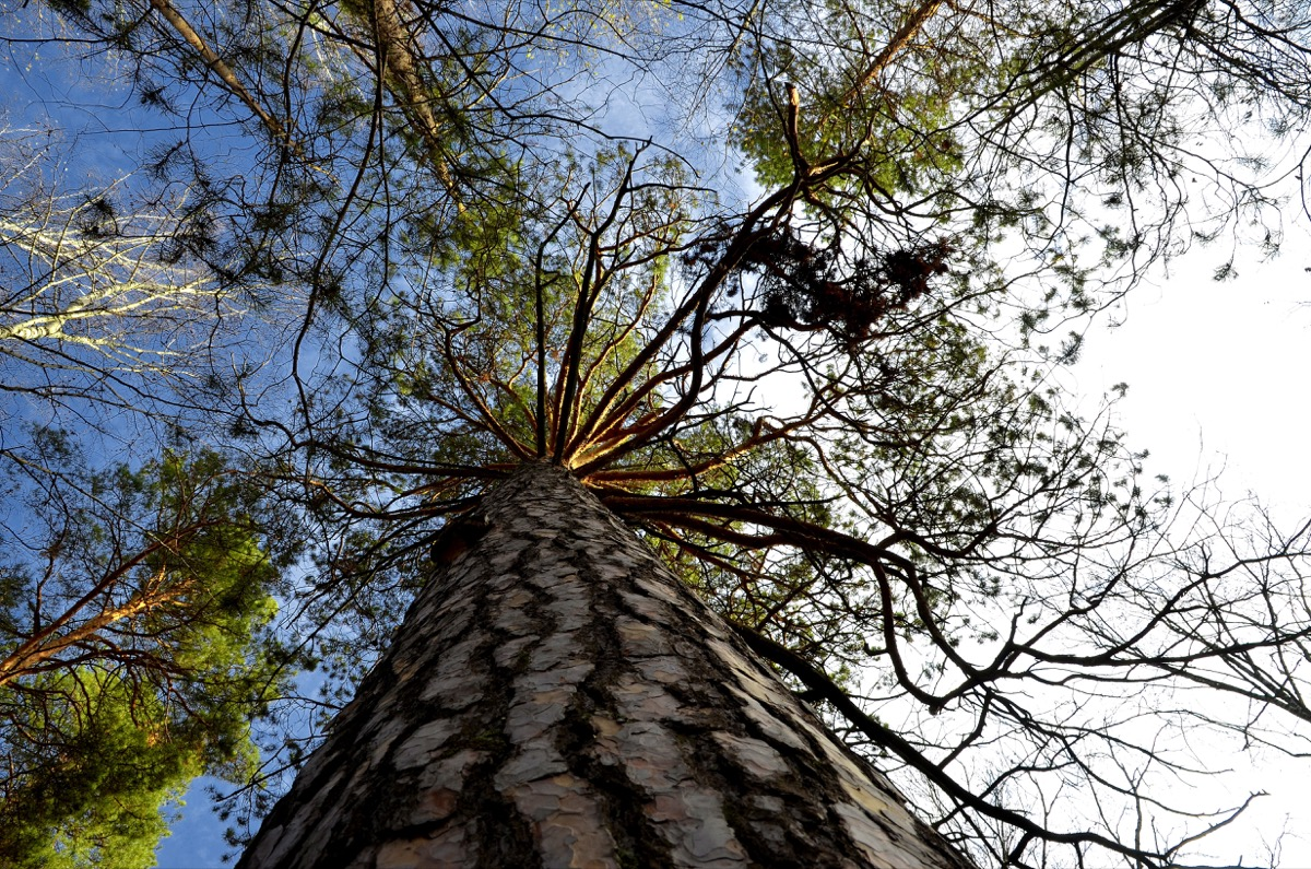 looking up a big tree in the forest to the sky