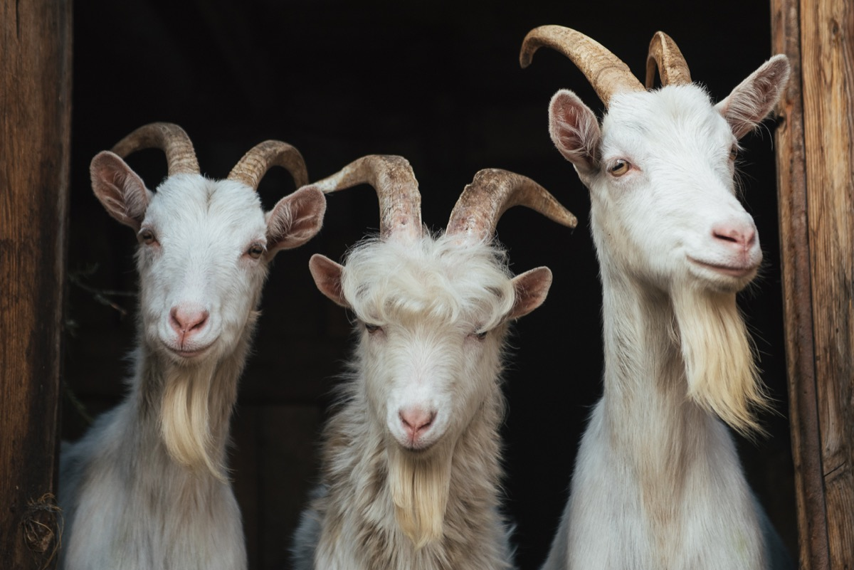 three goats with beards and horns in a barn