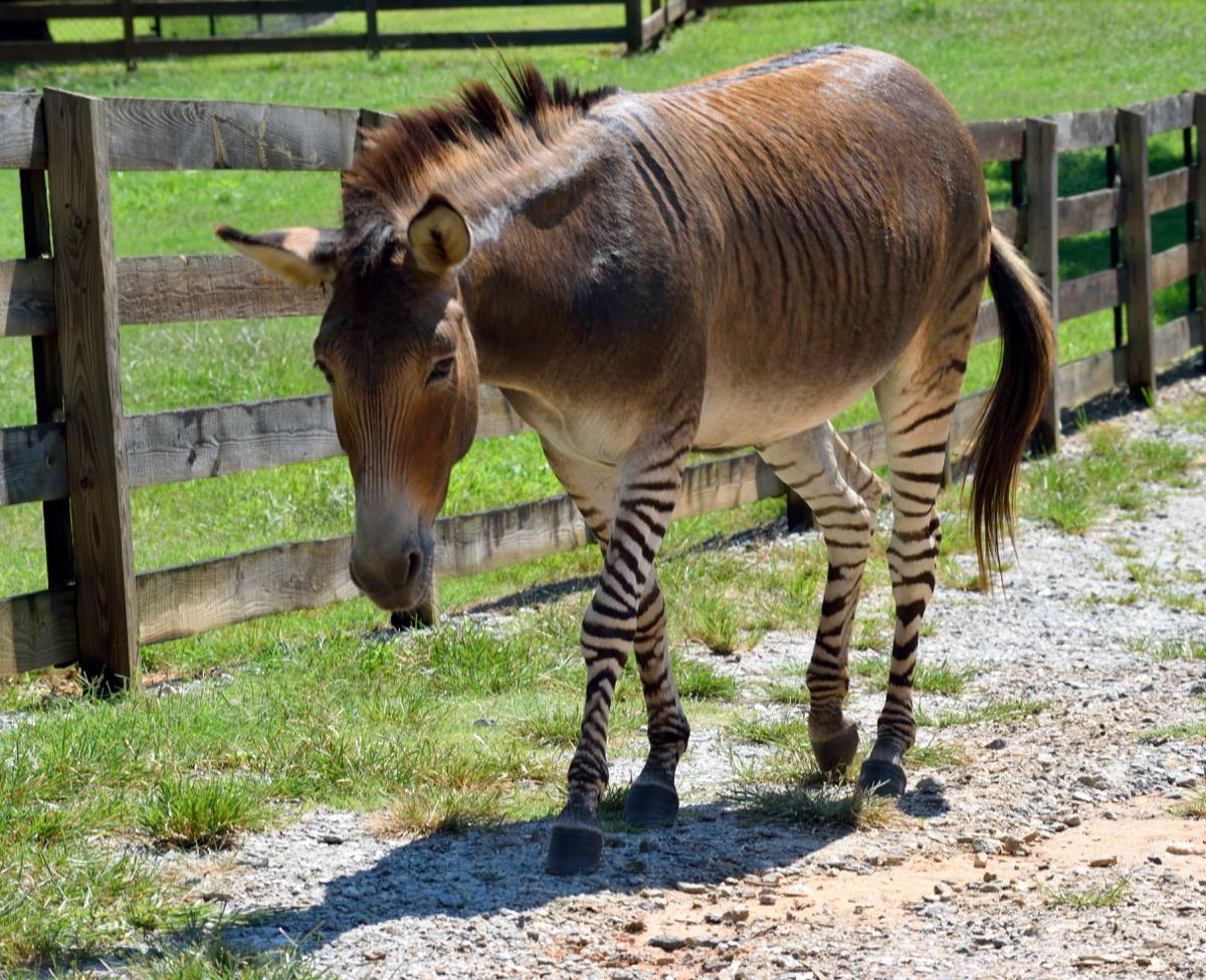 A hybrid zebra, donkey mix walking along a fence