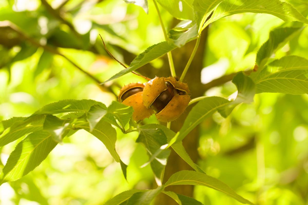 Ohio buckeye tree and nut