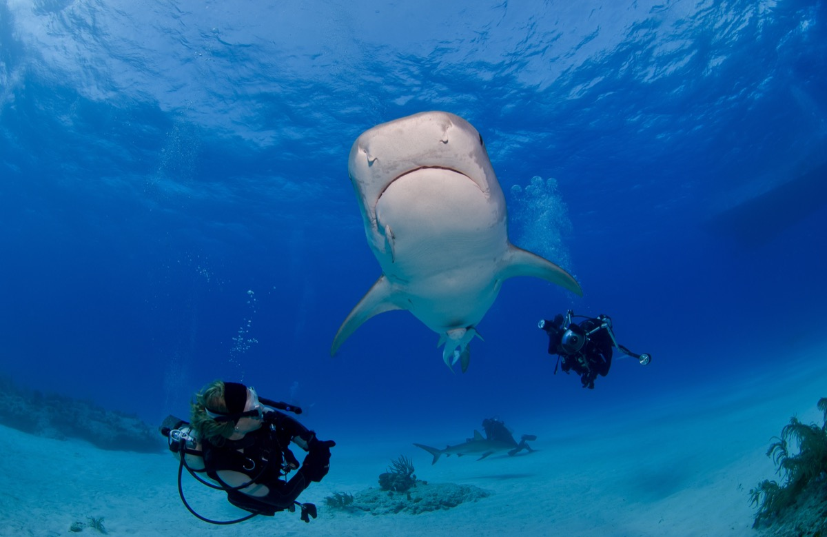 Tiger shark viewed from below with two divers