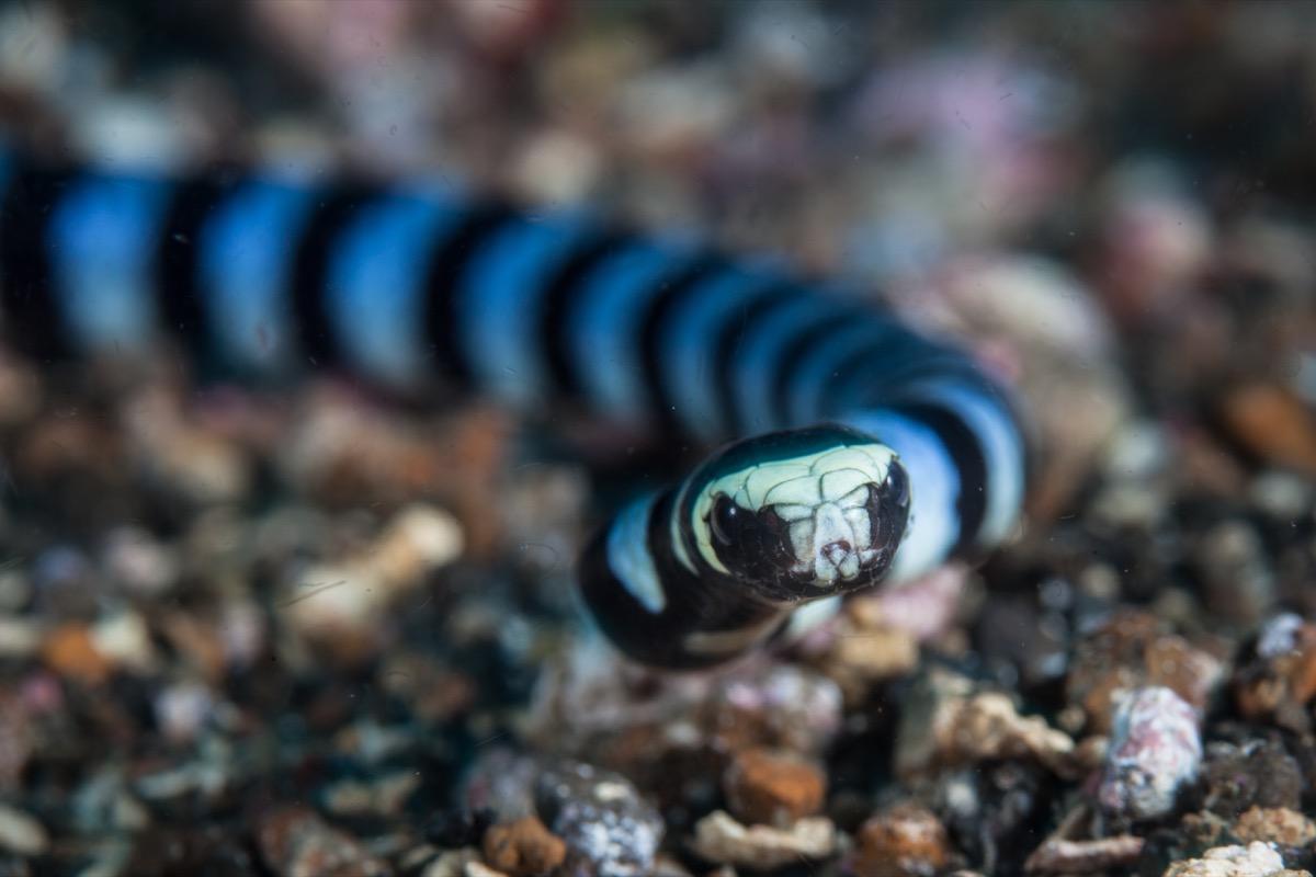 Banded Sea Krait Sea Creatures That Sting