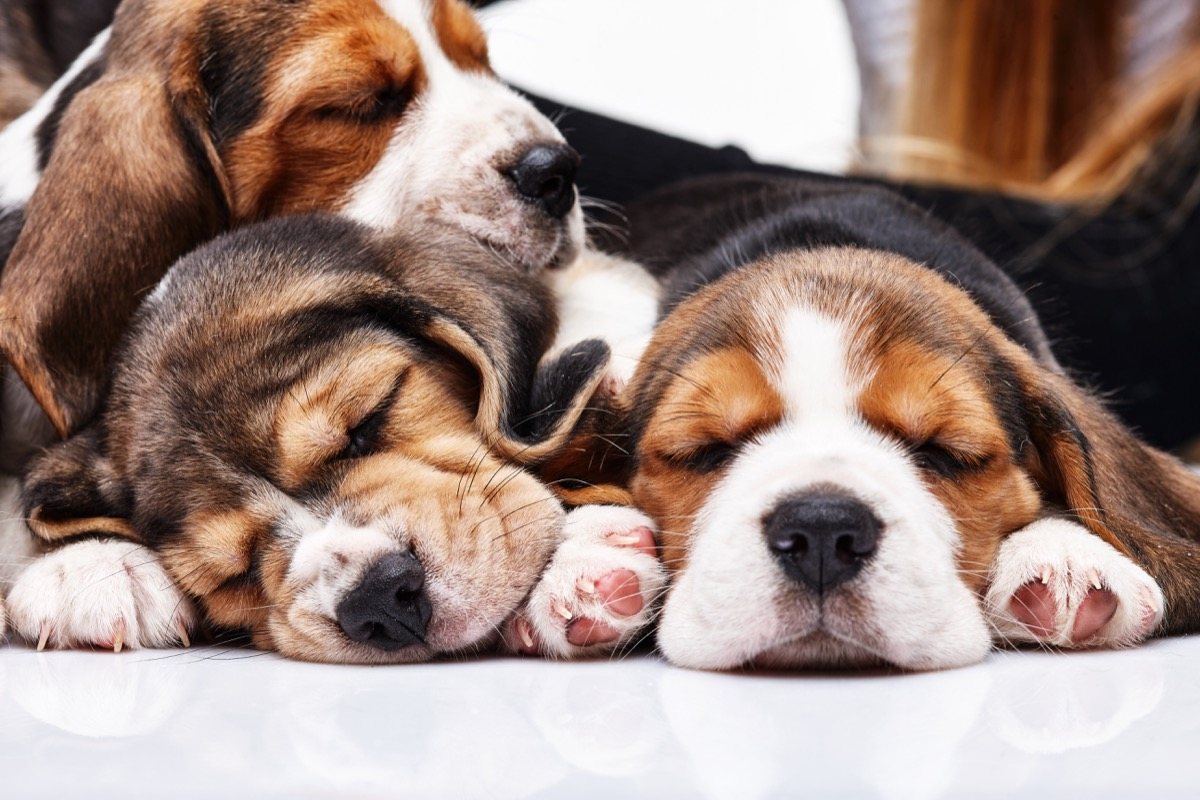 beagle puppies sleeping photos of snoozing dogs