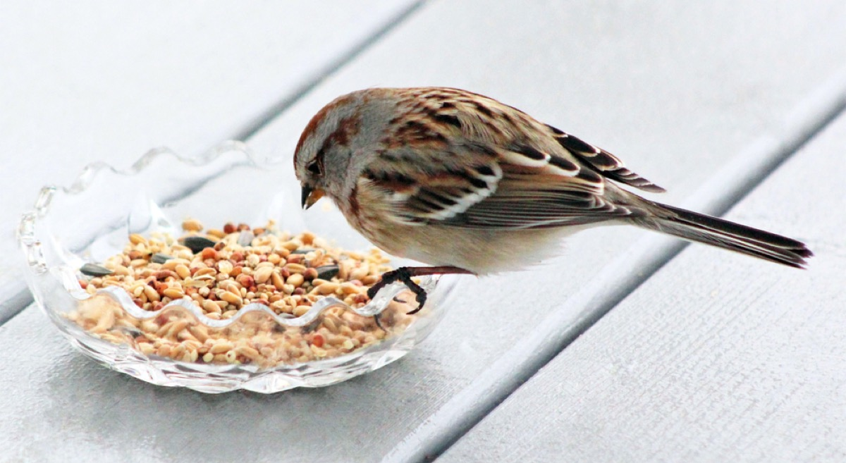 bird eating birdfeed out of a dish things in your house attracting pests