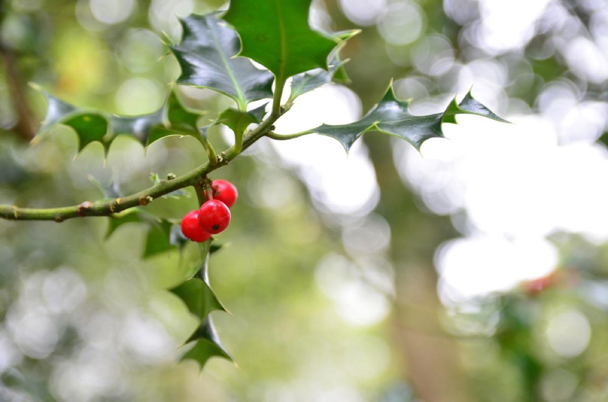 holly berries, backyard dangers