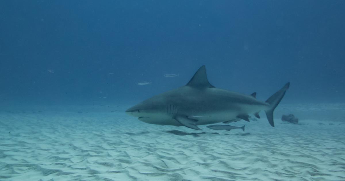 pregnant bull shark, shark photos