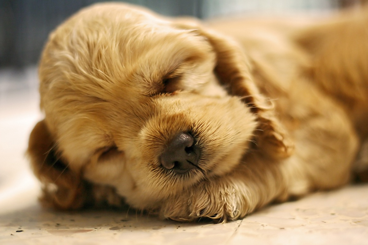 cavalier king charles spaniel puppy sleeping photos of snoozing dogs