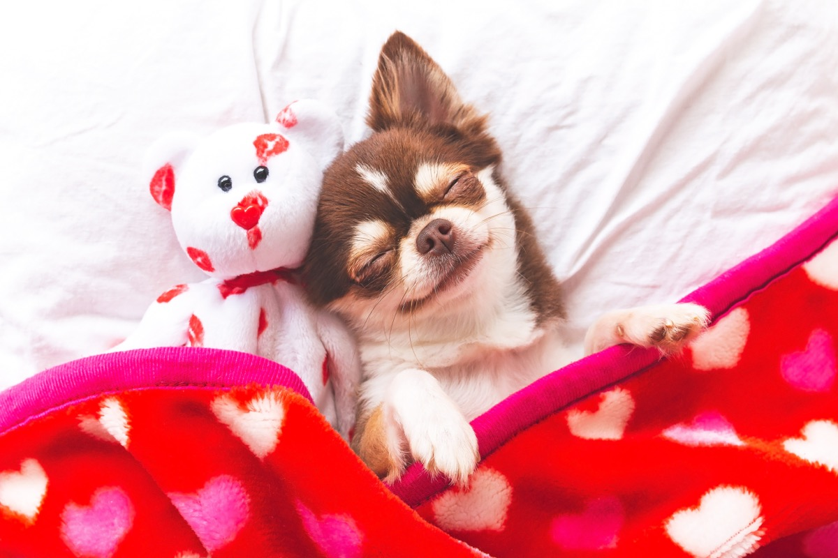 chihuahua dog smiling in their sleep photos of snoozing dogs